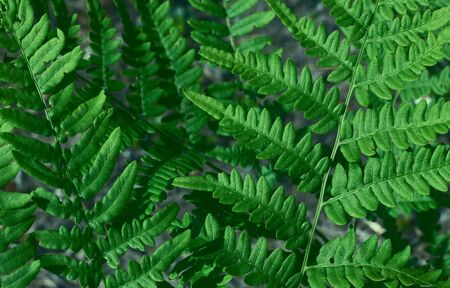 Natural green young ostrich fern or shuttlecock fern leaves Matteuccia struthiopteris on each other