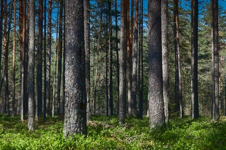 view of the dark forest in summer. Russian forest. nature of Russia. Russia,