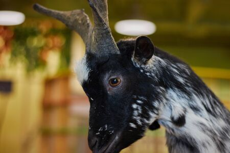 Close-up of a beautiful goat, farm animal with black fur. animal in the zoo. Reklamní fotografie