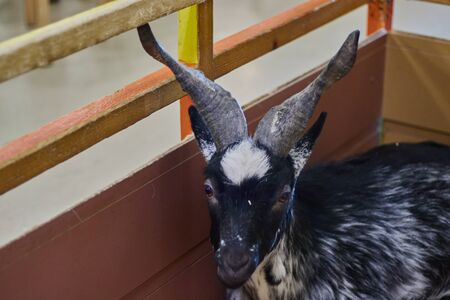 Close-up of a beautiful goat, farm animal with black fur. animal in the zoo. copy space. Reklamní fotografie