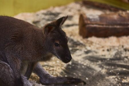 tortured little kangaroo in a contact zoo. animal mockery. animal protection.