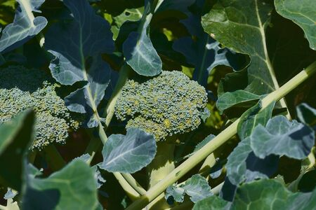 Broccoli with healthy aspect ready to be cut Reklamní fotografie