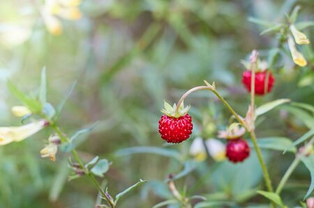 The berry of ripe strawberries in a sunny meadow in the forest.