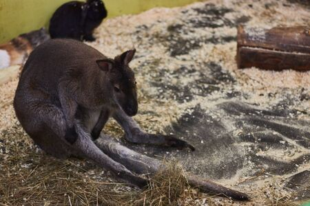 tortured little kangaroo in a contact zoo. animal mockery. animal