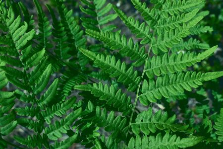 Green fresh leaves of ostrich fern or fiddlehead fern or shuttlecock fern Matteuccia struthiopteris