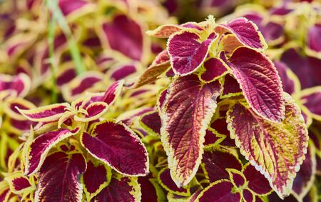Decorative floral background of Coleus Painted Nettle plant - latin: Solenostemon scutellarioides Reklamní fotografie