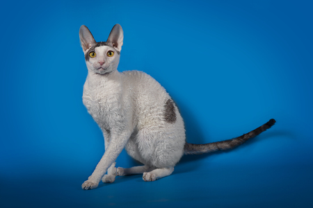 studioshot: Cornish Rex cat posing on a blue Studio background