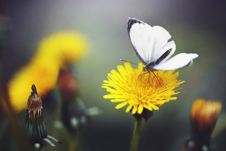 Butterfly on the flower of a dandelion Stock Photo