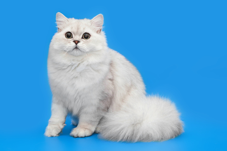 Biały puszysty piękny kot na tle studia