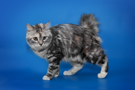 Bobtail cat portrait isolated on blue background