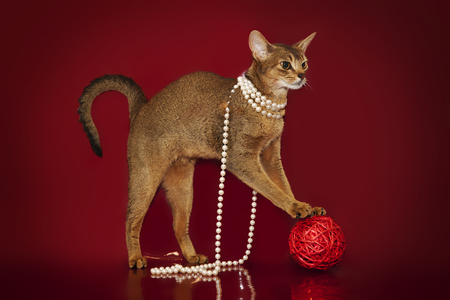 silver hair: Abyssinian cat in white beads plays with a ball on a red background... Stock Photo
