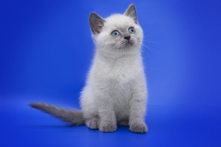 cat with blue eyes on a blue background