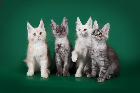 coons: Four beautiful young kitten Maine Coons posing on studio green background.