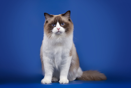 A rag doll of a cat on a blue background.