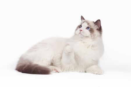 Rag doll cat on a white background. Stock Photo