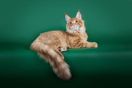 赤のふわふわ猫メインクーン緑のスタジオ背景に横になっています。 写真素材 - 85551446