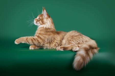 緑のスタジオの背景に横たわっている赤いふわふわ猫メインのクーン。 写真素材 - 85551448