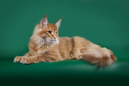 빨간색 솜 털 고양이 메인 쿤 녹색 스튜디오 배경에 거짓말.