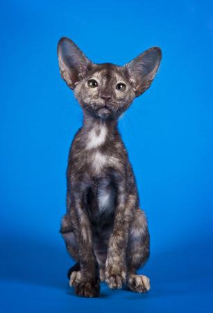 gray cat: Oriental little kitten with huge ears on Studio blue background. Stock Photo