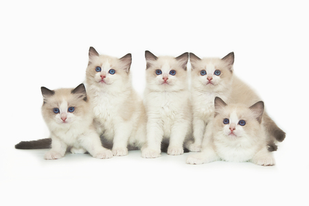 Five little cute white ragdoll kitten with blue eyes on a white background. A lot of kittens on a white background.