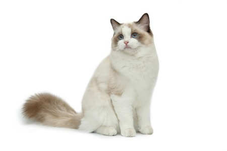 Rag doll cat on a white background. 스톡 콘텐츠