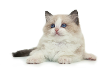 Rag doll kitten on a white background.