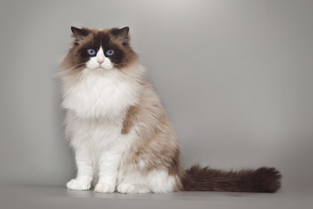 Fluffy beautiful white cat ragdoll with blue eyes posing while sitting on gray background.