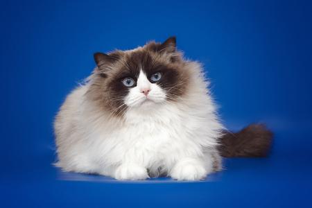 Fluffy beautiful white cat ragdoll, posing lying on studio blue background.