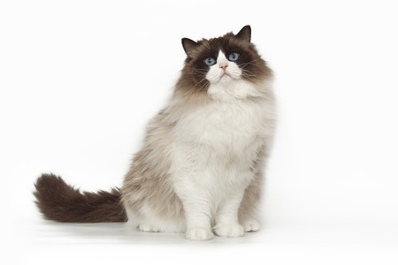 Fluffy beautiful white cat ragdoll with blue eyes posing while sitting on studio white background. Imagens - 96119649