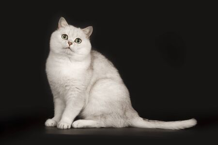 Adorable British breed white cat with magical green eyes sitting on isolated black background