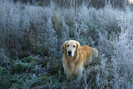 honey blonde: Golden Retriever stands in the middle of the frozen grass