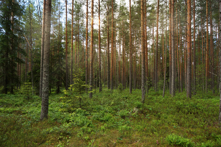 penetrate: the pine forest, the rays of the Sun penetrate between branches Stock Photo