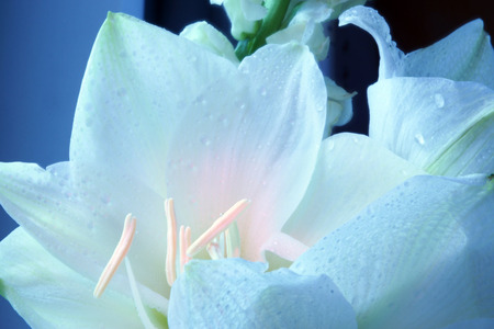 the stamens: delicate white flower with stamens, macro, pink lights