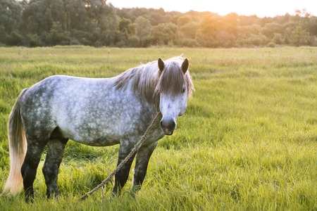 dapple grey: Grey horse stands on the field, looks aside, the sun sets, golden hour Stock Photo