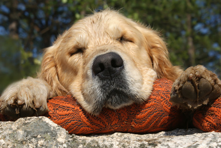 Golden Retriever sleeps on a pillow on the big stone, closeup Imagens