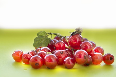 grape snail: The little snail crawling on handfuls of red currant