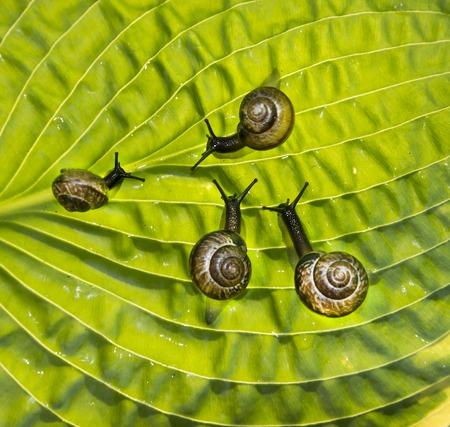 slithery: Four garden snails are crawling through a leaf Hosta fortunei Marginato-alba Stock Photo