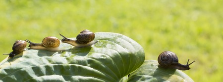slithery: Four garden snails are crawling on a leaf Hosta fortunei Marginato-alba