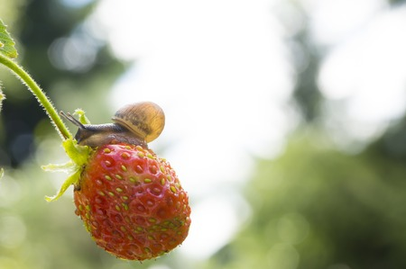 slithery: Little garden snail crawling on Strawberry on a background garden Stock Photo