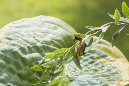 slithery: Garden snail crawling on a branch hanging over leaf Hostas Stock Photo