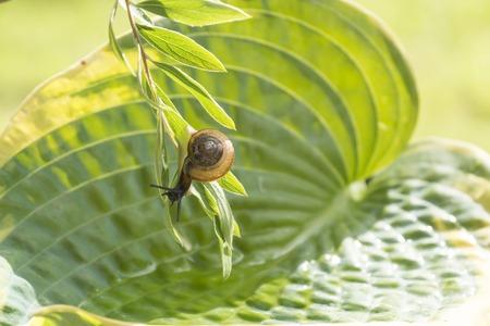 hostas: Garden snail crawling on a branch hanging over leaf Hostas Stock Photo