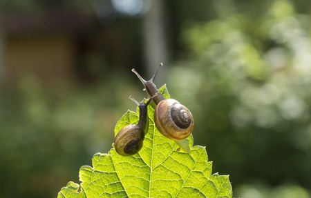 slithery: Two garden snails on a leaf currant looking into the distance