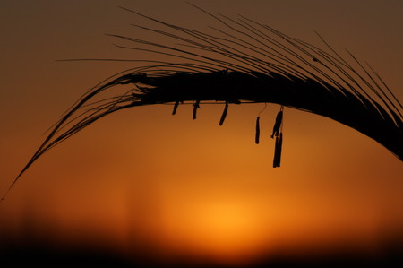 spikelets: spikelets of rye silhouette at sunset, close-up