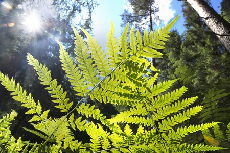 brake fern: Bright green fern leaves against the sky and trees in the forest Stock Photo
