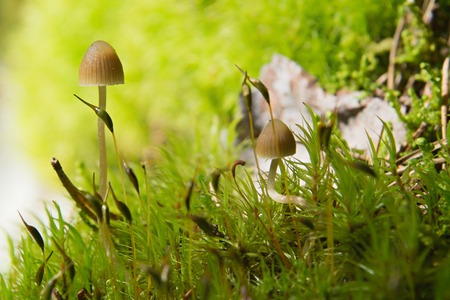 lamellar: Two small lamellar Mushrooms on a green moss in a lite forest