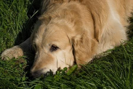 The dog breed golden retriever lying on green grass and looking ahead