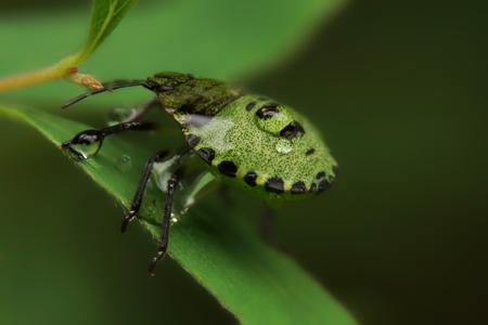 palomena: Closeup of green Palomena prasina bug with water drops after the rain. Stock Photo