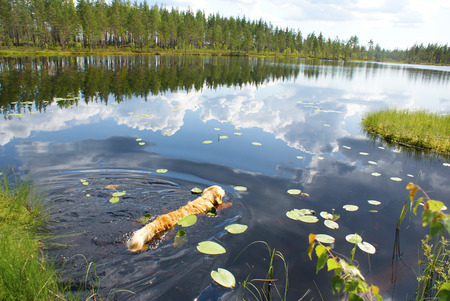 Dog Golden Retriever swims in a forest lake with a reflection of the beach and sky with clouds Reklamní fotografie