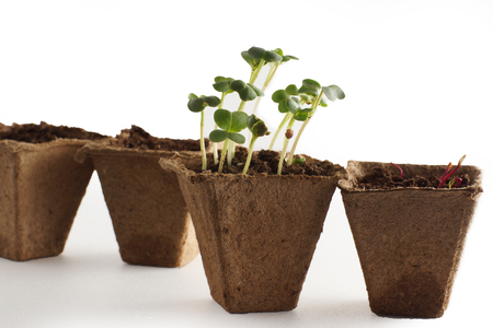 Sprouts in the pot with the earth, the beginning of a new life. Stock Photo