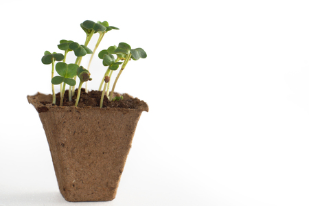 peat: Sprouts in a peat pot with earth, the beginning of a new life.